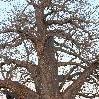 Baobab Tree Tarangire NP