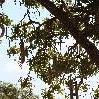 Manyara Tanzania Kigelia Sausage Tree Tarangire NP