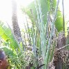 Drinking water from the plants Madagascar