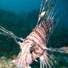 Pictures of a Lion fish in Palau Palau